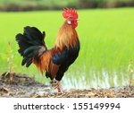 Beautiful Rooster On Nature...