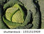 Savoy Cabbage  Brassica...