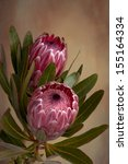 Beautiful Soft Pink Proteas In...