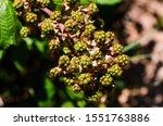 Unripe Blackberry Fruits On A...