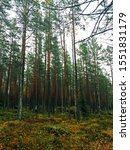 Small photo of Autumn forest with tall inaccessible pine trees.