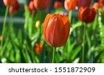 Red Flower Tulips Flowering In...