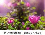 Blooming Pink Wild Rose Spring...
