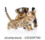 Stock photo yorkshire terrier puppy playing with purebred bengal kitten isolated on white background 155209700