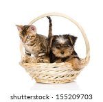 Stock photo purebred bengal kitten and yorkshire terrier puppy sitting in basket isolated on white background 155209703