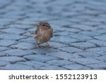 A Field Sparrow In A City Leaps ...