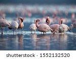 Lesser Flamingos Preening At...
