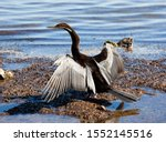 The great cormorant, known as the great black cormorant across the Northern Hemisphere, the black cormorant in Australia, the large cormorant in India and the black shag further south in New Zealand