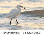 Snowy Egret Catches A Fish At...