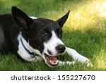 A Black And White Dog Chewing...