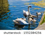 Cute Swan Family With Little...