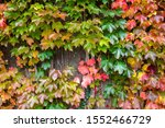 Colorful Parthenocissus...