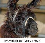 shaggy brown llama at the fair | Shutterstock . vector #155247884