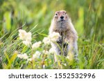 Funny Groundhog With Fluffy Fur