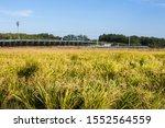 YeongCheon, South Korea 2019 Rice field near the sidewalk view