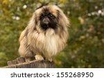 Adult Pekingese Posing On A...