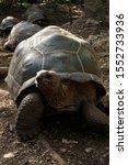 Stock photo zanzibar tortoise at prison island changu island zanzibar local and tourist visit prison island 1552733936