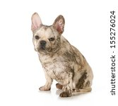 Dirty Dog   French Bulldog...