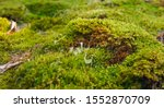 Thick Green Moss Grows On The...