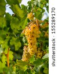 different white grape bunches... | Shutterstock . vector #155289170