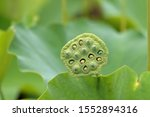 Lotus Seed Pod And Green Lotus...