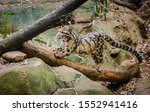Clouded Leopard Zoological...