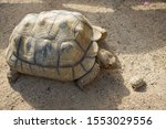Stock photo close up african spurred tortoise resting in the garden slow life africa spurred tortoise 1553029556