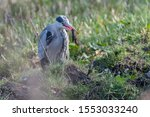 A Grey Heron That Has Caught A...