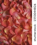 Stock photo beautiful peachy rose s petals texture bright petals closeup tender romantic and passionate 1553044826