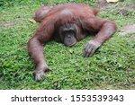 Orangutans Face Down On The...