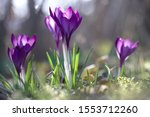 Purple Crocus Flowers  Violet...