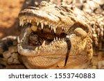 Nile Crocodile Mother And...