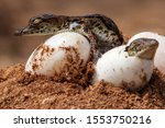 2 Nile Crocodiles Hatching Out...