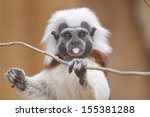 Cotton Top Tamarin  Saguinus...