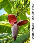 Closeup Of Banana Tree With...