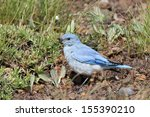 Mountain Bluebird In An Alpine...