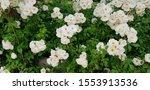 White Musk Roses Against Green...