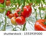 Beautiful Red Ripe Tomatoes...
