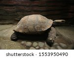 Stock photo its the biggest tortoise kind in indonesia the name is emys of elephant foot tortoise this is 1553950490