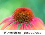 Close Up Of Echinacea Cheyenne...