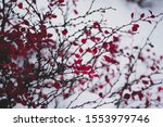 Branches With Red Leaves Close...