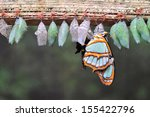 Rows of butterfly cocoons and...