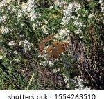 Two Buckeye Butterflies On A...
