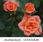 Pink Orange Roses Three