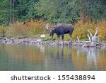 Bull Moose In Lake