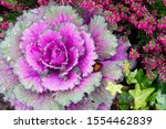 Decorative Purple Cabbage....