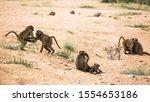 Small Group Of Chacma Baboon...