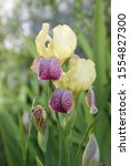 Two Yellow With Purple Irises...