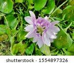 eichhornia  water hyacinth.... | Shutterstock . vector #1554897326