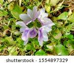 eichhornia  water hyacinth.... | Shutterstock . vector #1554897329